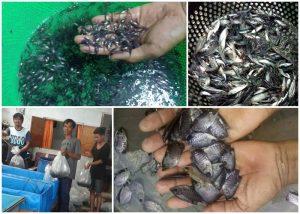 page a 2 300x214 - Bunda Bibit | Jual Bibit Ikan Pekanbaru