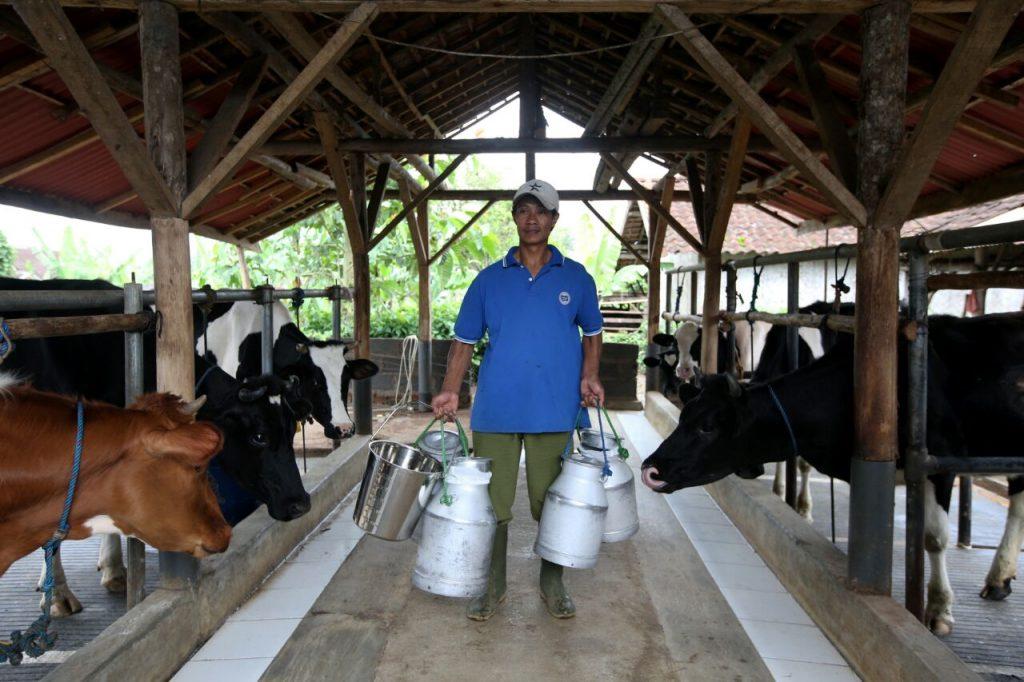 Melalui MCP Digital FFI Tingkatkan Kualitas Susu Perah Hingga 90 - FFI Tingkatkan Kualitas Susu Perah Hingga  90 %, Melalui MCP Digital
