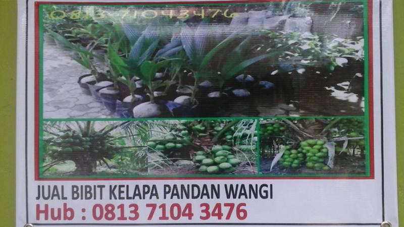 bibit kelapa pandan wangi 2