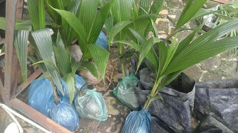bibit kelapa pandan wangi 3