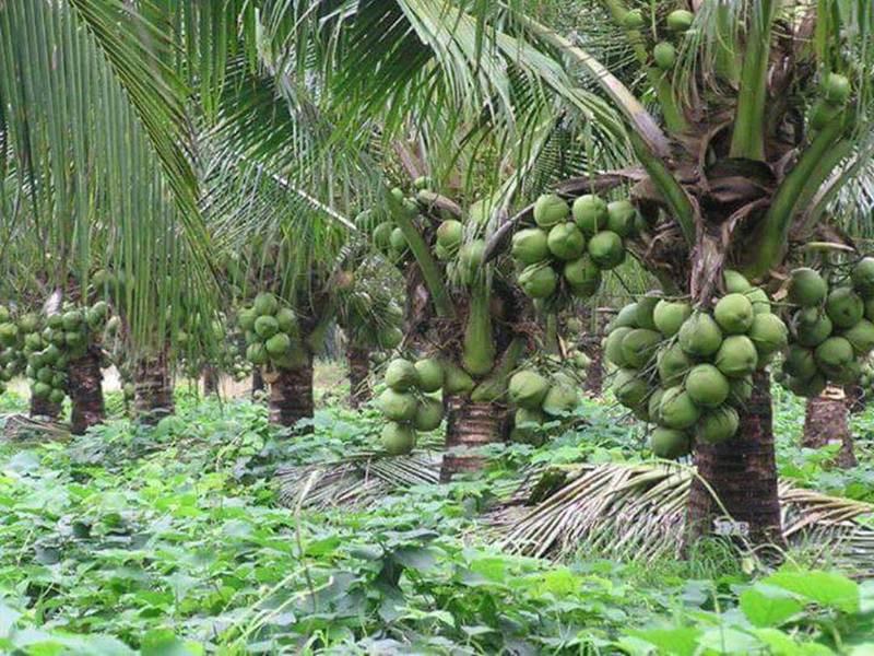 bibit kelapa pandan wangi 5