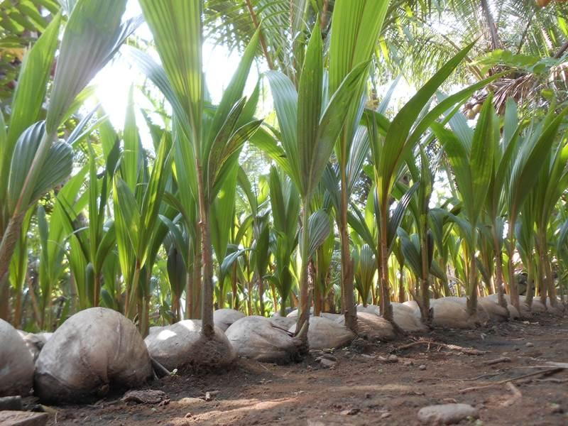 bibit kelapa pandan wangi 6