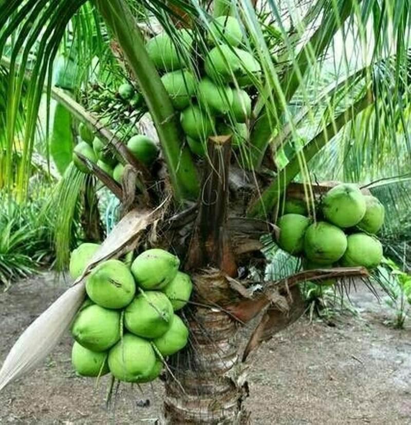 bibit kelapa pandan wangi 7