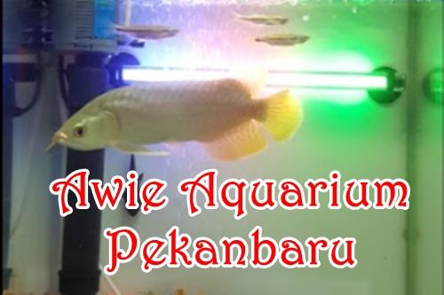Awie Aquarium Pekanbaru 1 - Awie Aquarium Pekanbaru