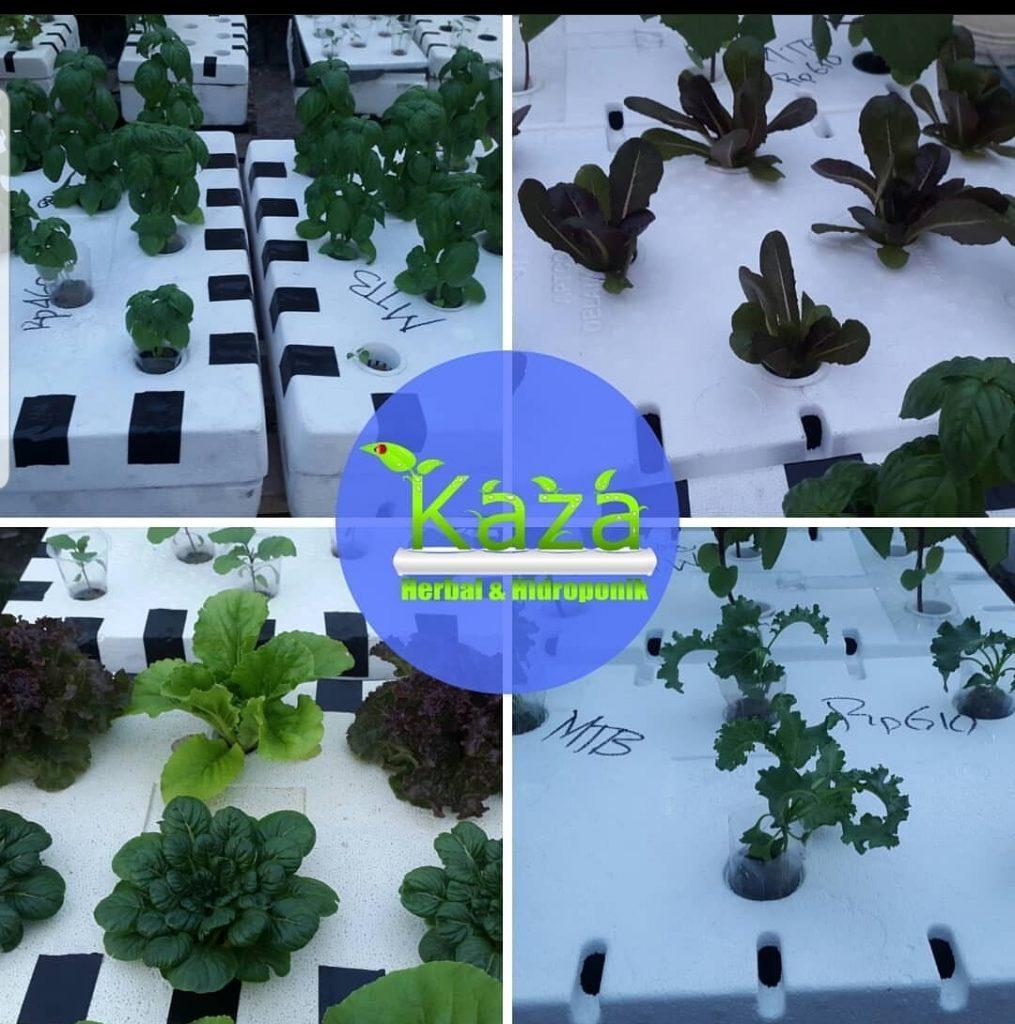 Kaza Herbal dan Hidroponik 4 - Kaza Herbal dan Hidroponik - Toko Hidroponik Pekanbaru
