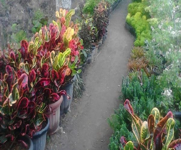 taman bunga - Taman Bunga Dear Krisanti